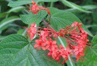 Chữa đau bụng kinh bằng cây mò hoa đỏ hiệu quả