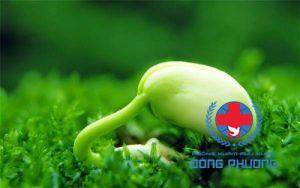 Điều trị đau bụng kinh bằng thảo dược với mầm đậu nành
